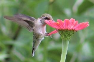 2018 Ruby-throated hummingbirds...
