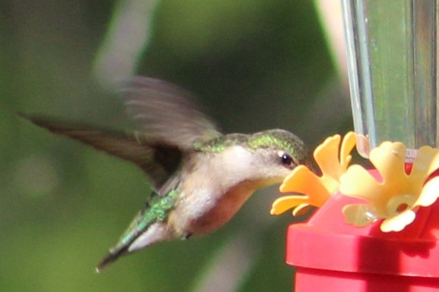 hummingbird - nectar - feeder