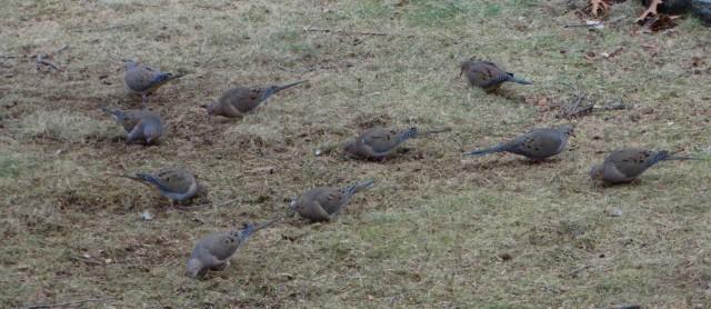 Mourning Doves-birds-songbirds