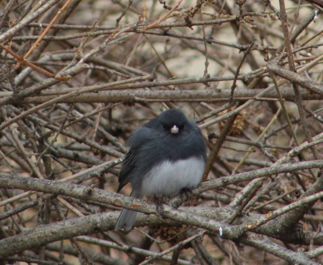 Slate-colored junco - male