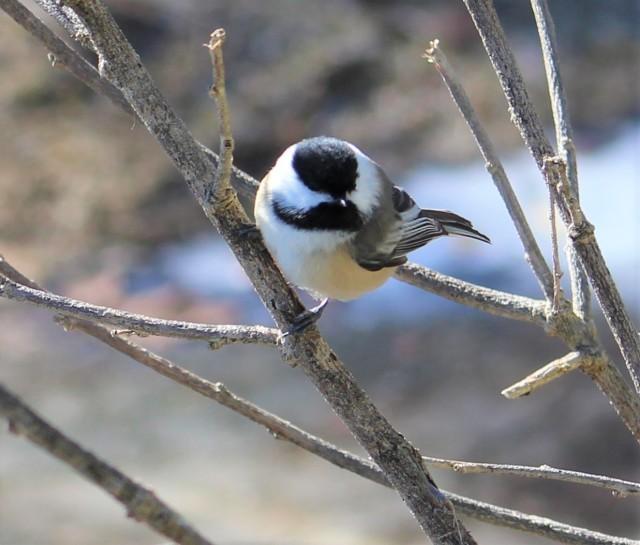 Black-capped chickadee - songbird - birds - wildlife