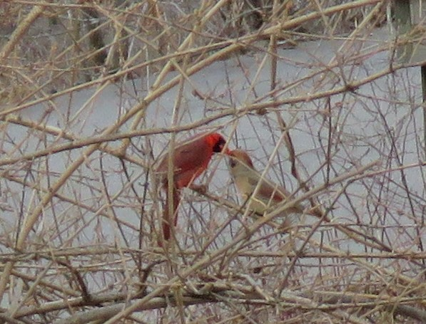 Northern cardinal - songbirds - red - male - female - courtship - mating