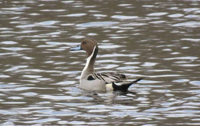 Northern pintail - ducks - waterfowl