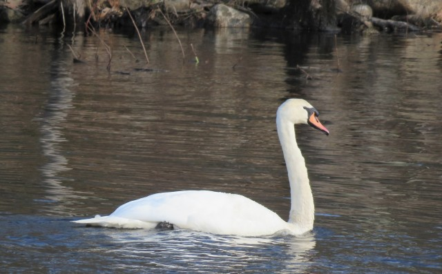 Trumpet swan - birds - swans
