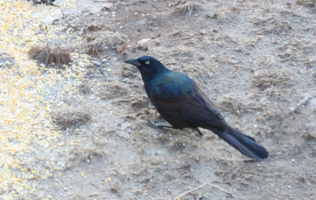 grackle - songbirds - birds - blackbirds