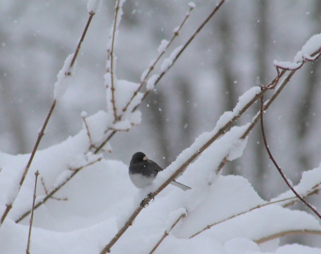 junco - birds - songbirds - animals - wildlife