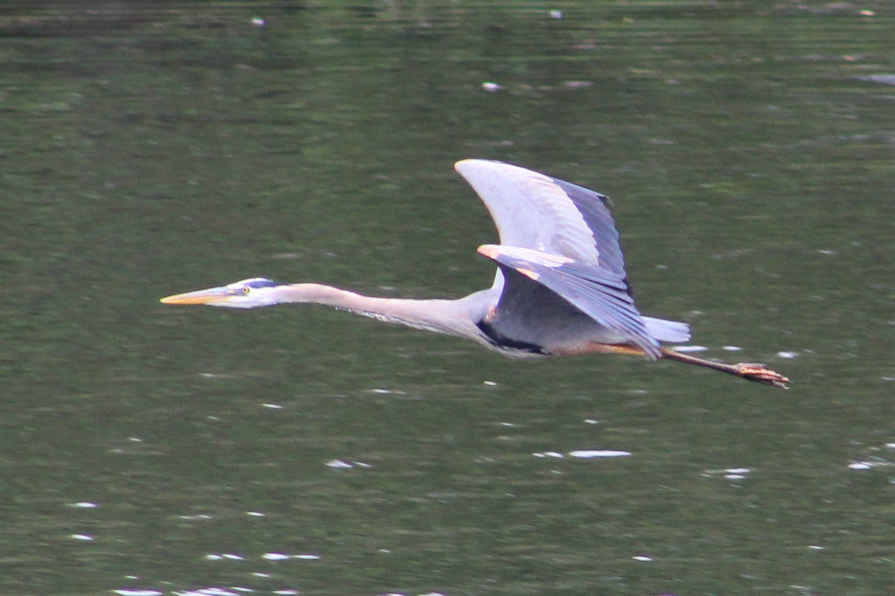 Great blue heron - bird - waterfowl - animals - nature