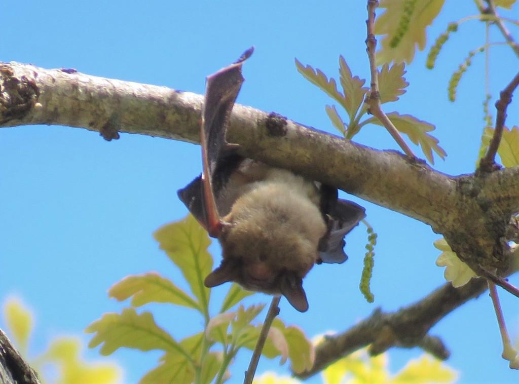 bat - brown - mammal
