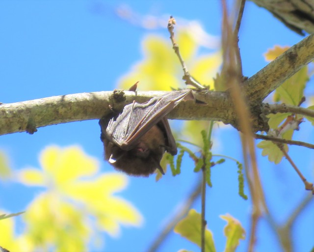 bat - brown - mammal