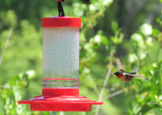 hummingbird - birds - wildlife - humming - ruby