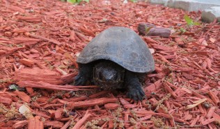 Musk Turtle Two