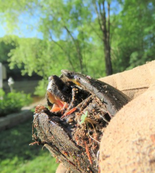 Musk Turtle One
