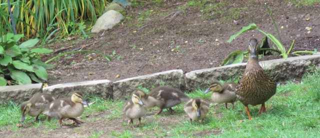 mallards - ducklings - ducks - babies - chicks