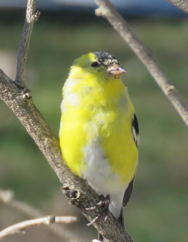 goldfinch - songbird - birds - finches - yellow