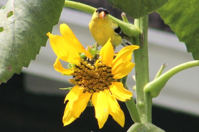 goldfinch - birds - songbirds - yellow - sunflower - sunny