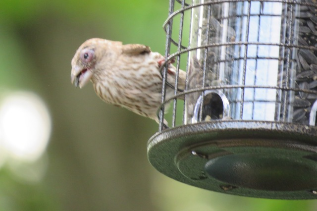 house_finch - songbirds - birds