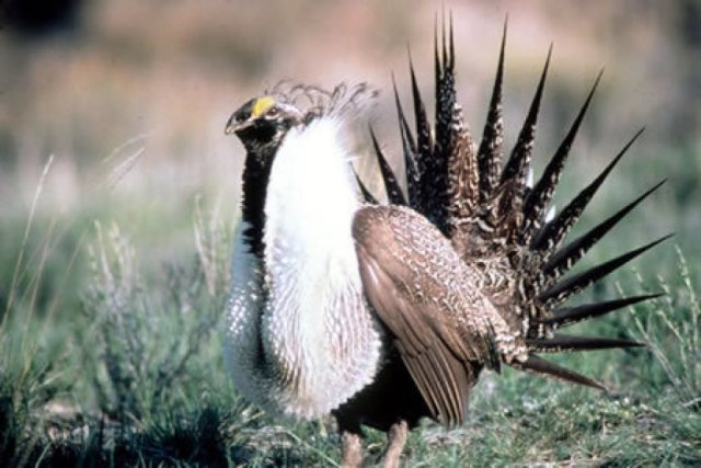 sage_grouse - environmental_protection - EPA - rollback - endangered - extinct - pollution