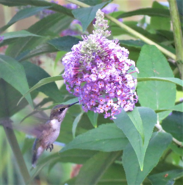 Ruby_throated hummingbird - songbirds - butterfly bush