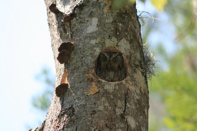 Screech-Owl_2-006_small
