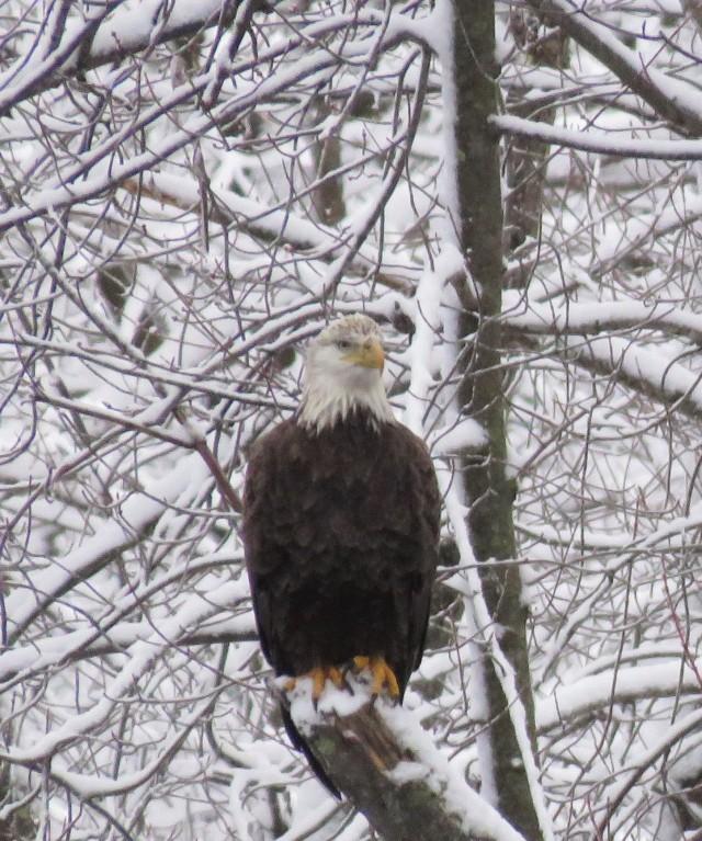 eagle - American bald eagle - birds - prey - hunting