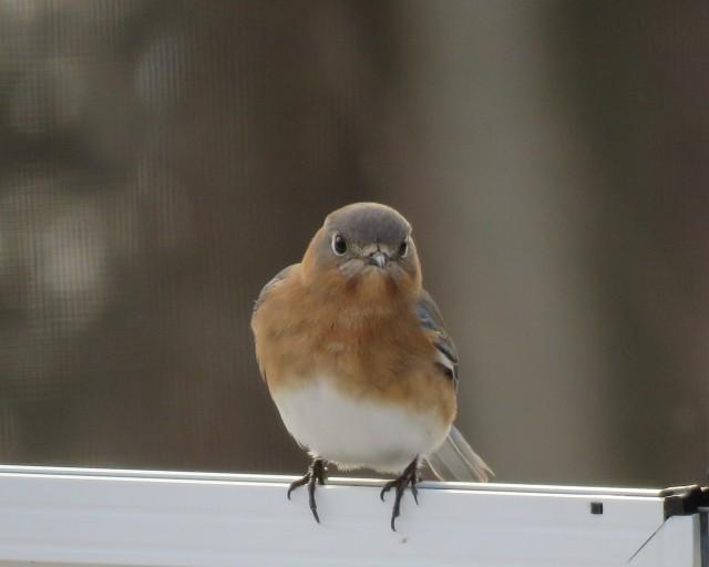 bluebird - female - songbird - bird - songs - nature