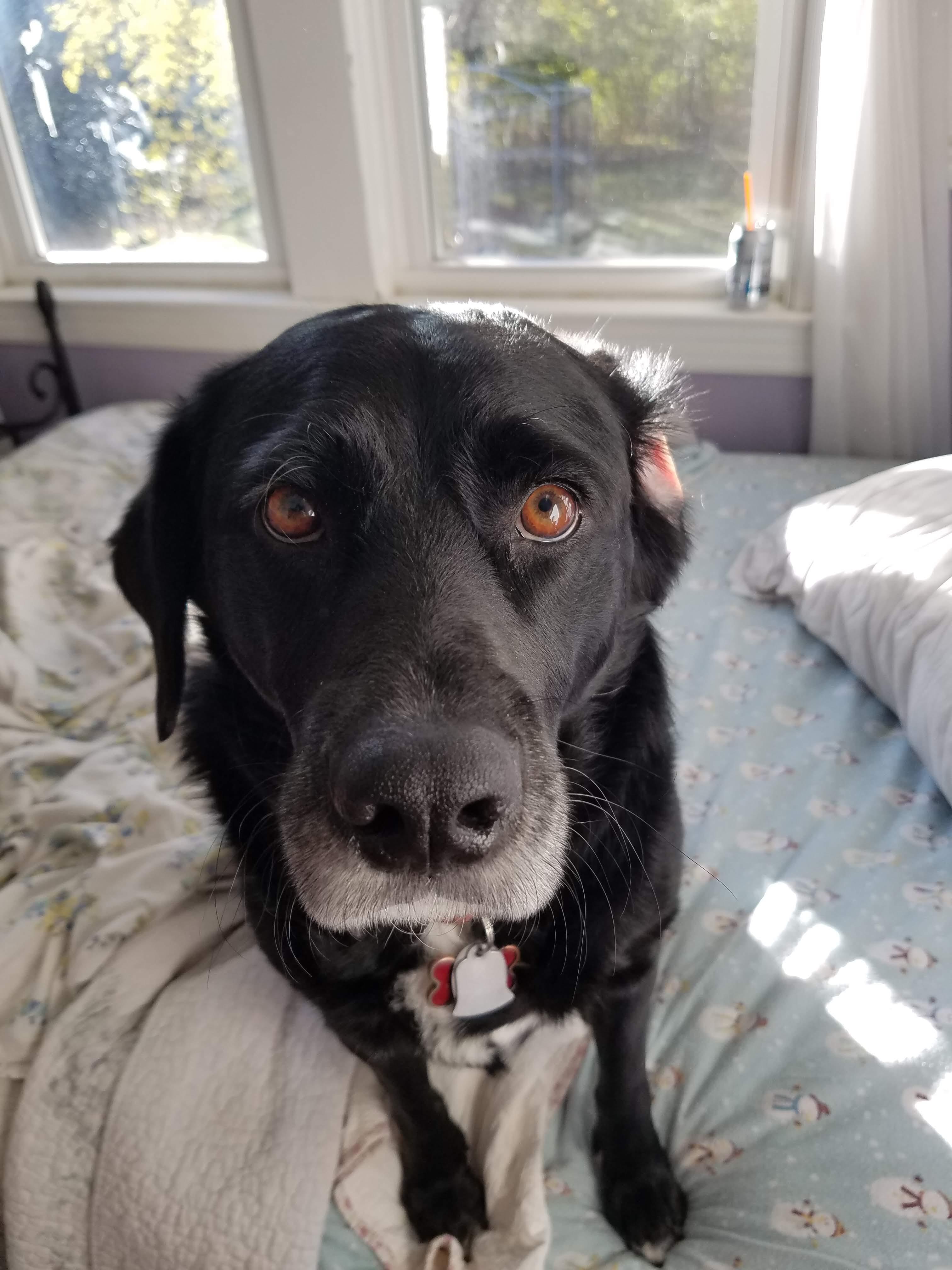 Labrador - black - dog - canine - puppies