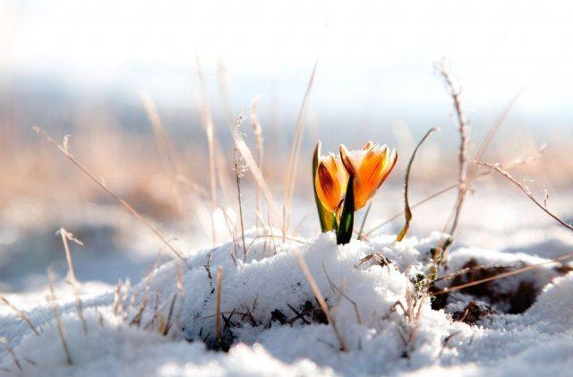 Imbolc - flowers - spring - crocus