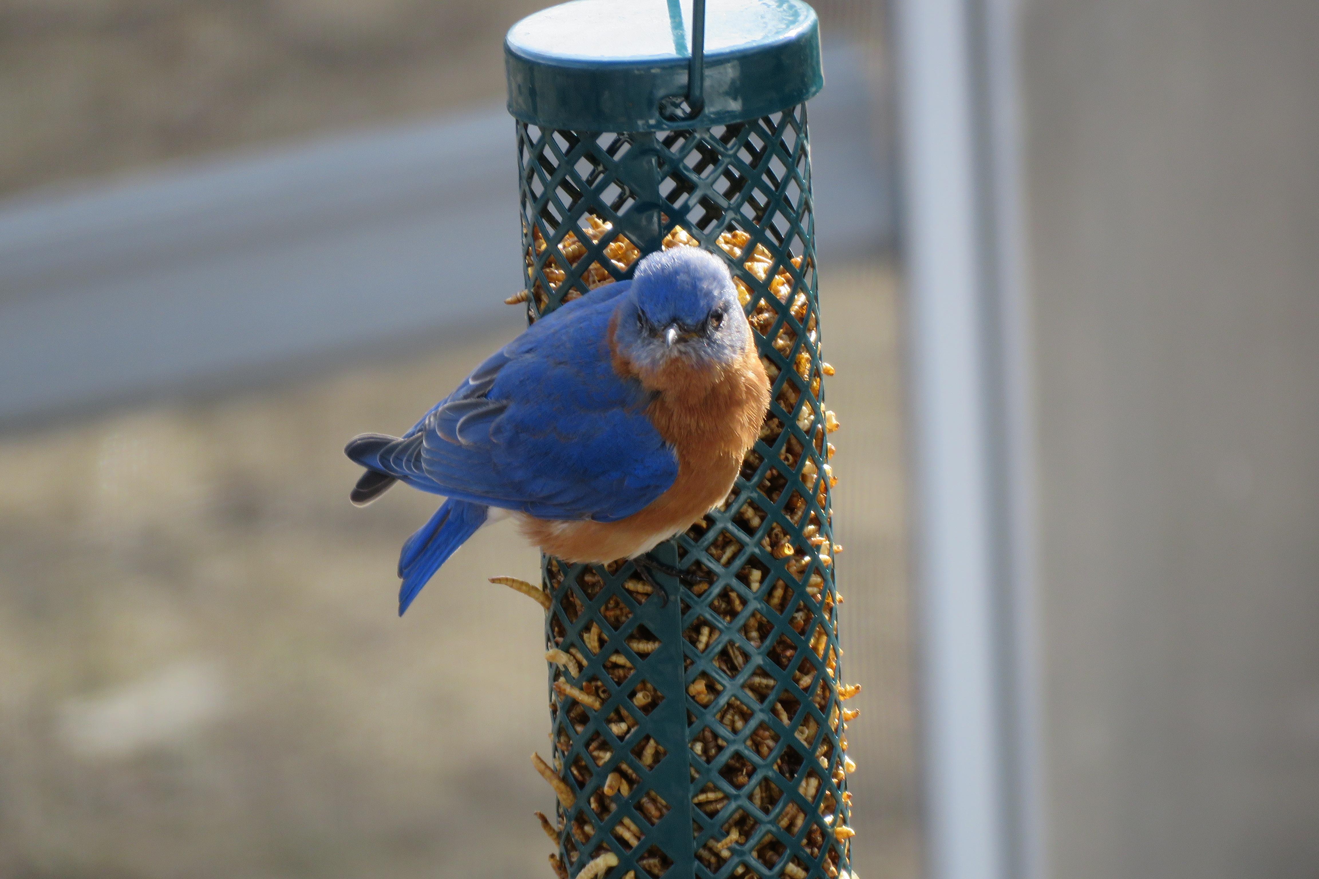 bluebird - wildlife - blue - birds - animals - mealworms - feeders