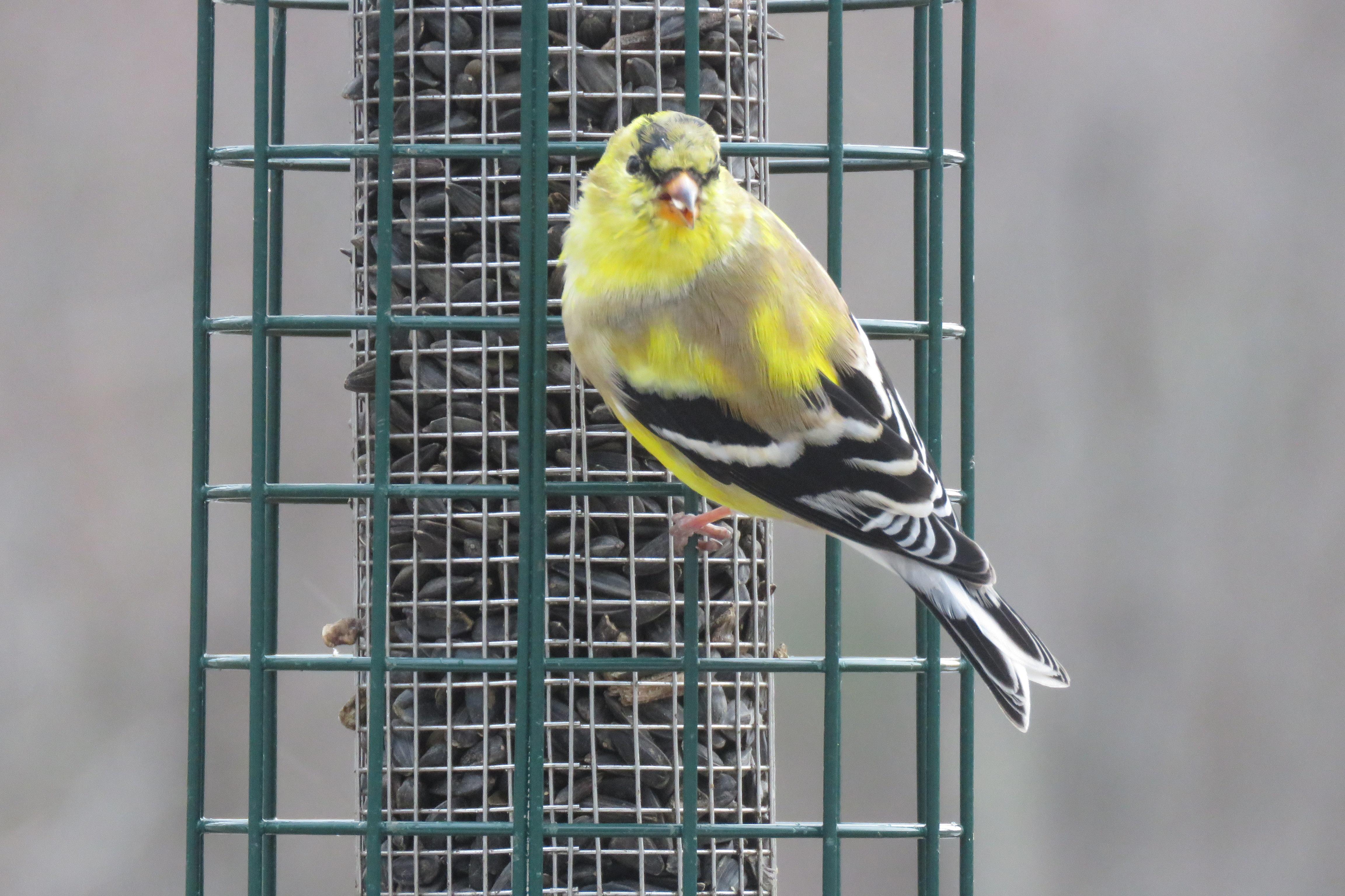 American Goldfinch - birds - wildlife - animals - songbirds