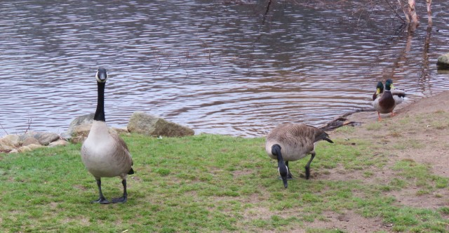 Canada - geese - waterfowl - animals - birds - nature - wildlife
