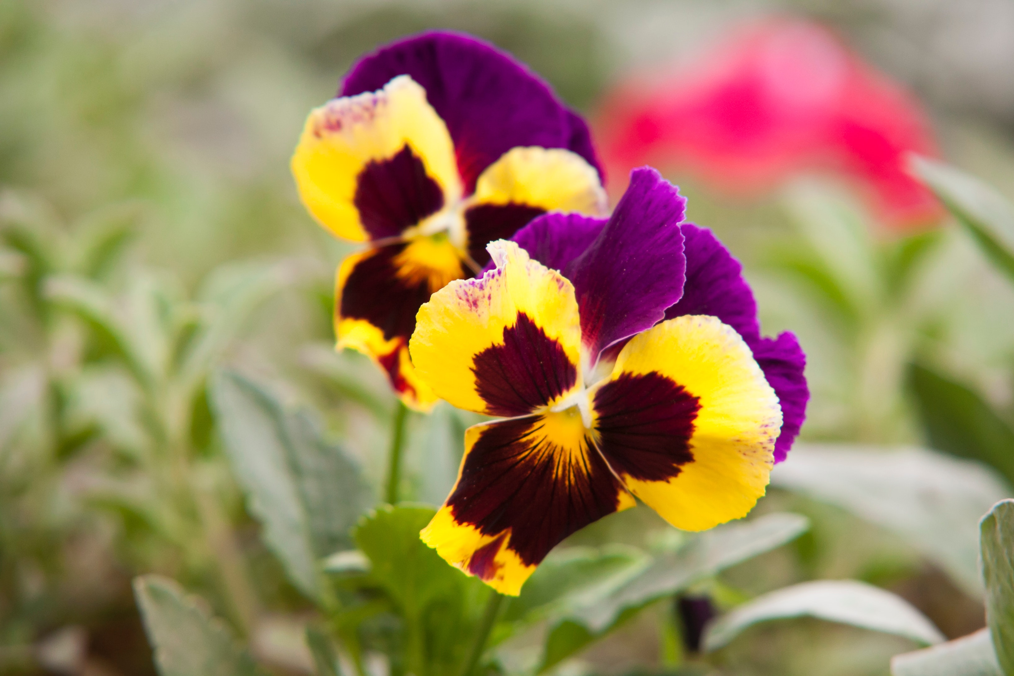 selective-focus-photography-of-yellow-and-purple-petaled-668940
