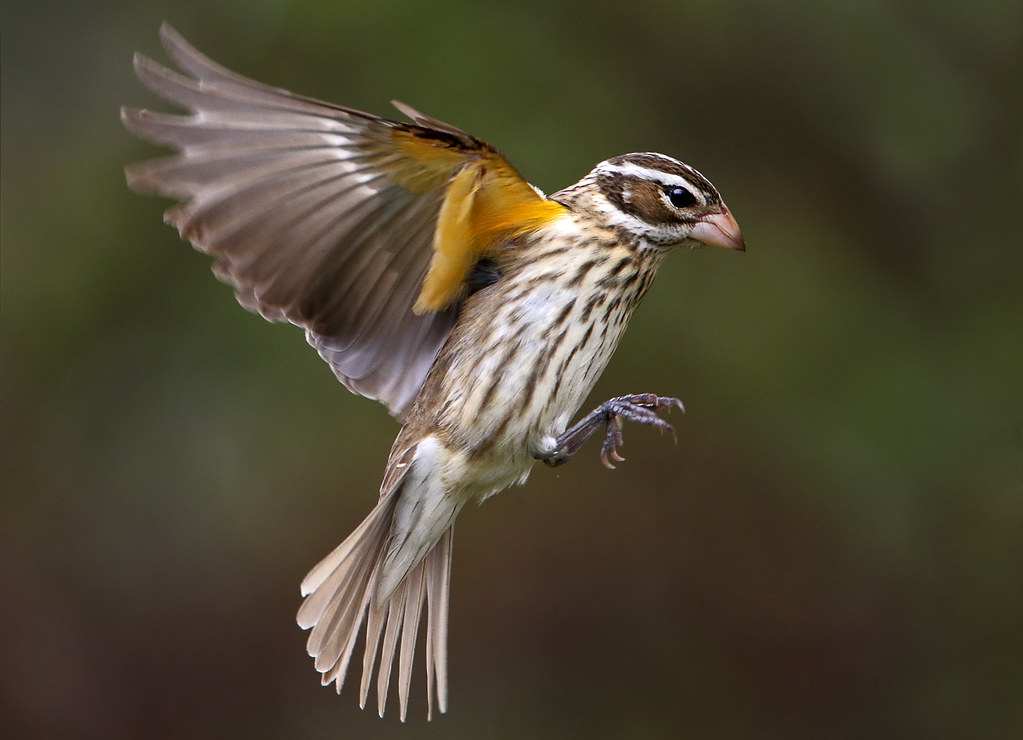 female-rose-breased-grosbeak-songbirds-birds-wildlife