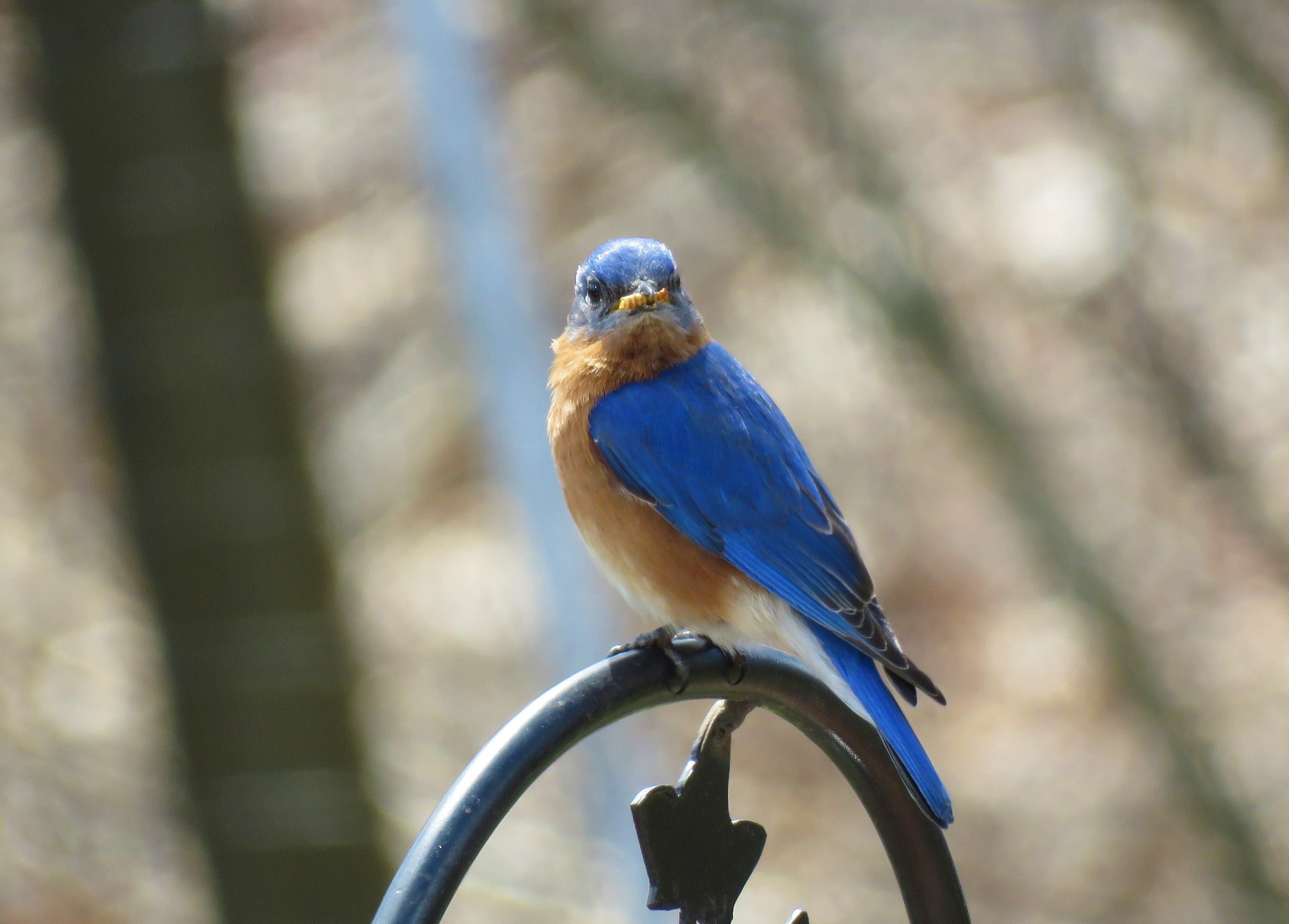 Eastern-bluebird-songbirds-birds-worms-mealworms-animals-wildlife