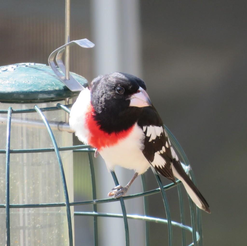 Male rose-breasted grosbeak songbird.