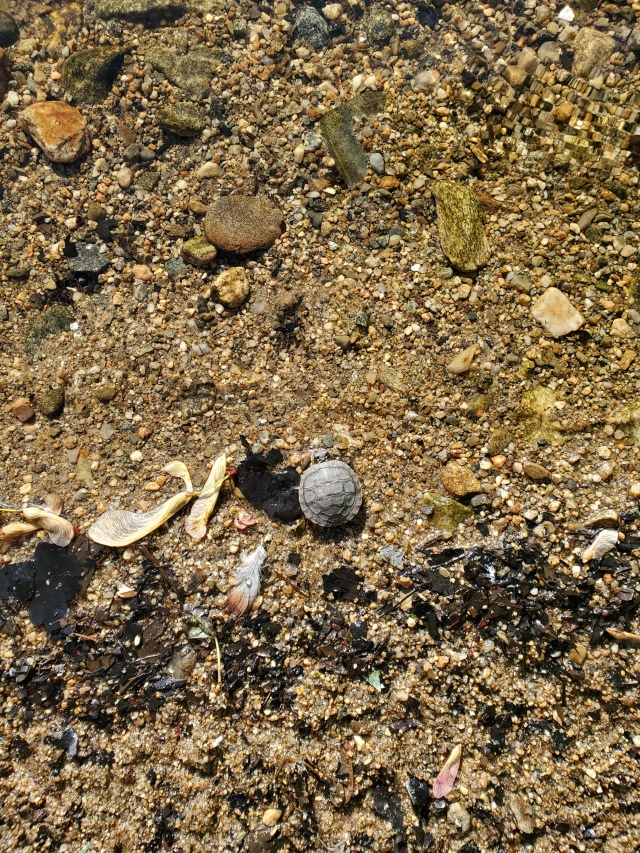 turtle - hatchling - painted turtle
