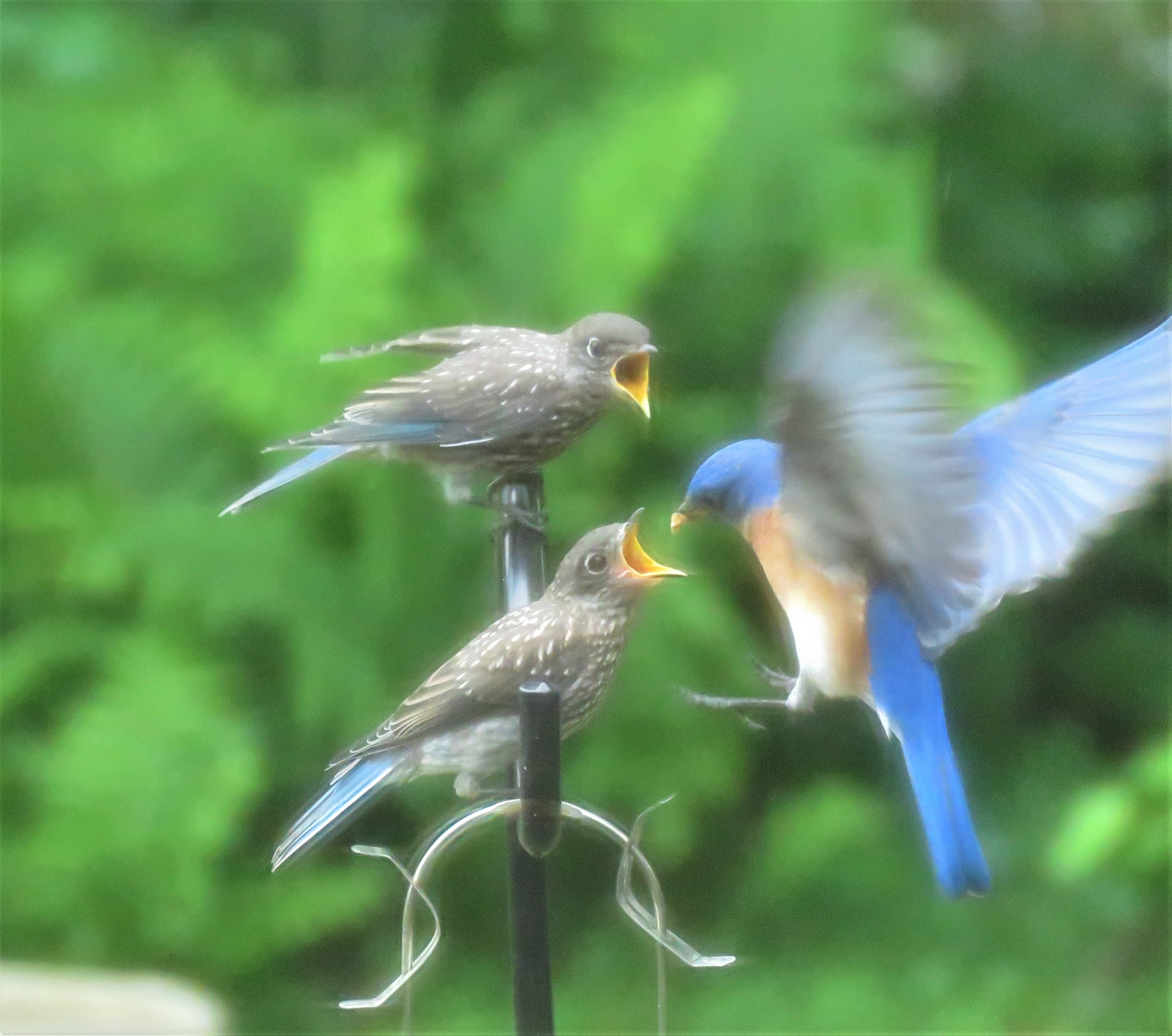 juvenile - bluebirds - songbirds - birds