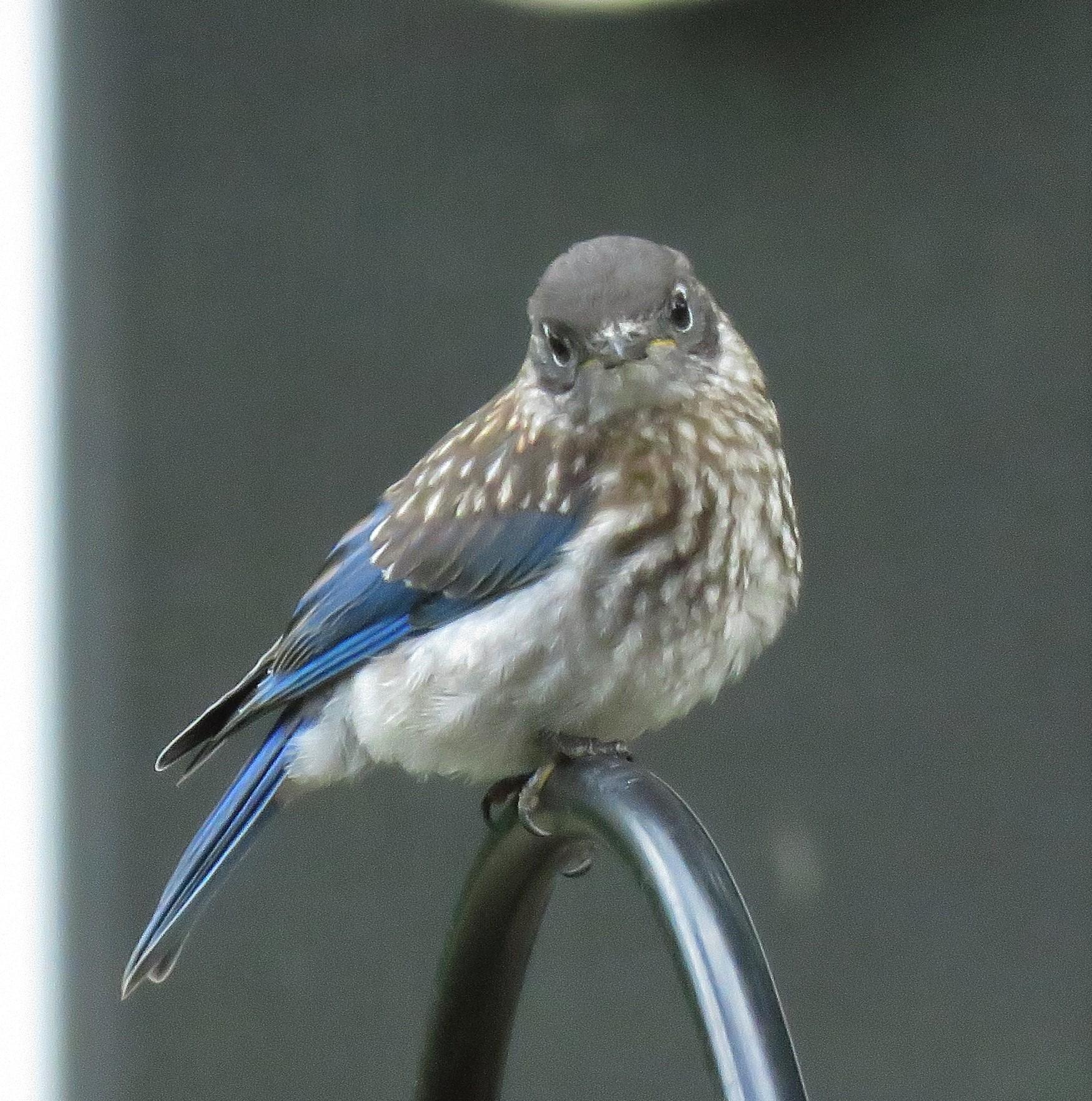 Eastern_bluebird - songbirds - birds
