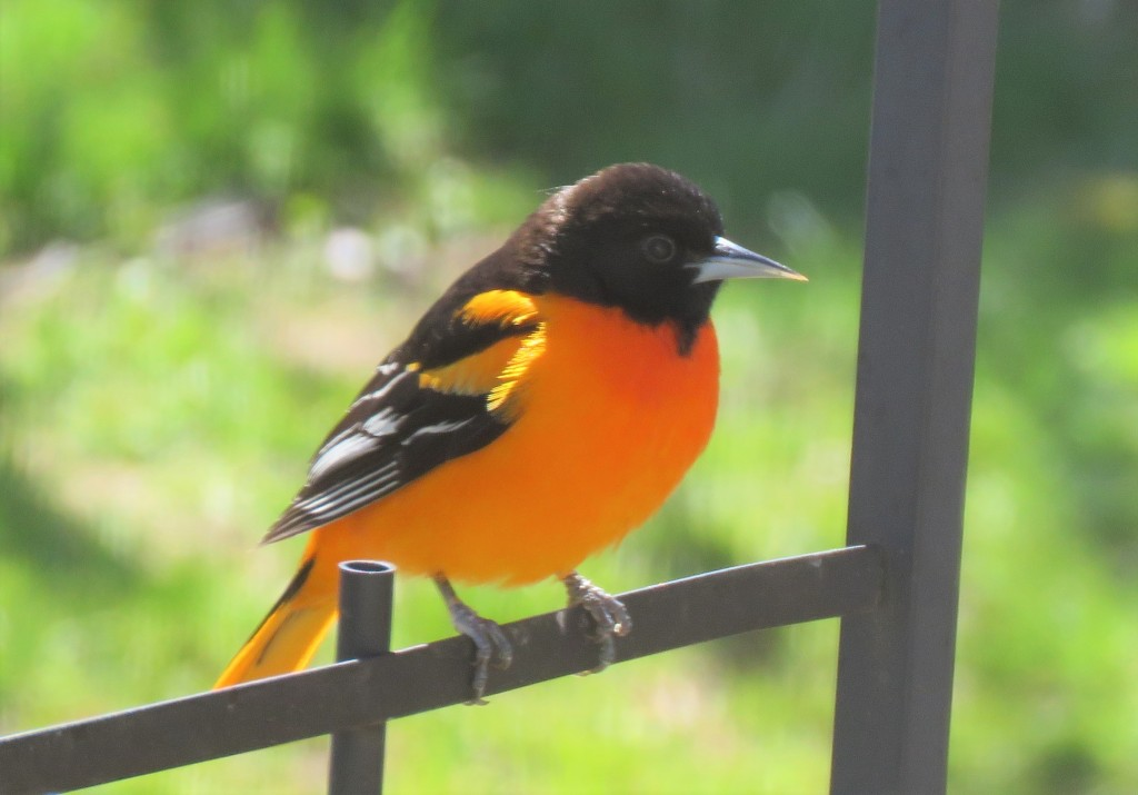 Male Baltimore oriole songbird.