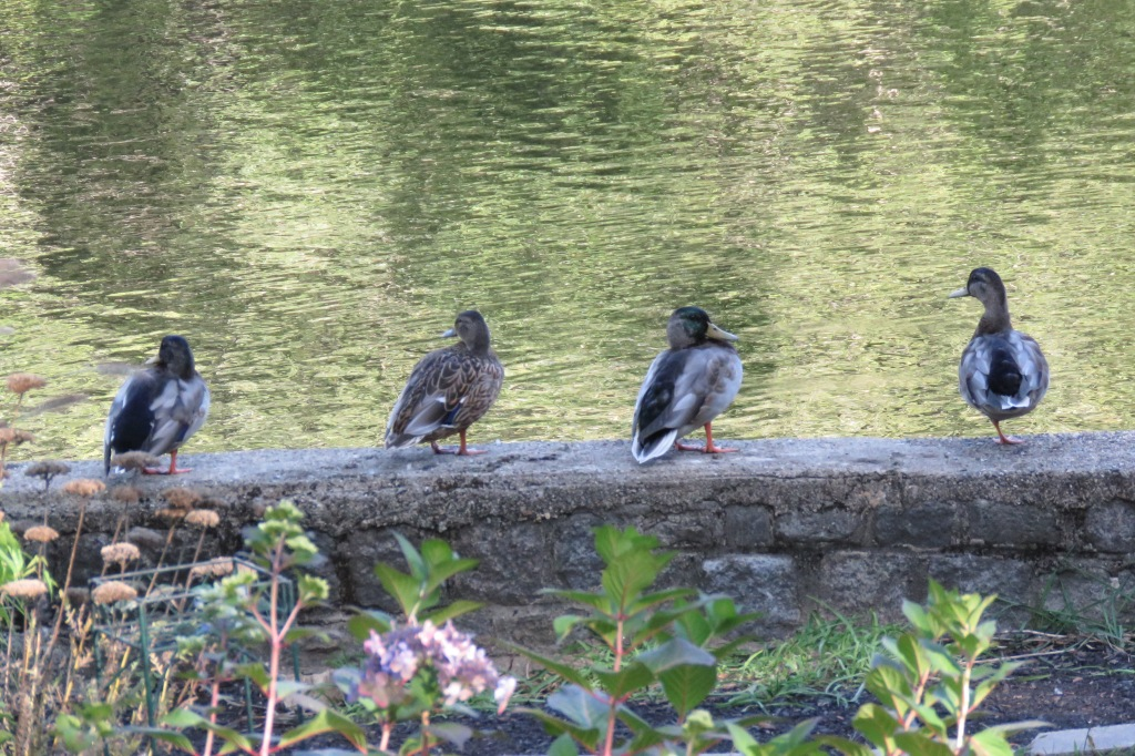 Mallard ducks lined up on retaining wall.